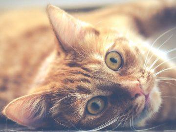 tutte le curiosità sulle fusa dei gatti